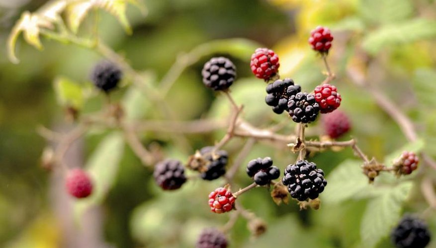 Wild ripe and unripe blackberries growing on a bush in the woods.