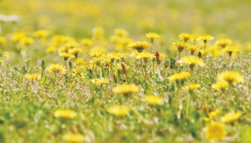 Dandelions are edible, but you should never eat plants that have been sprayed with weedkiller.