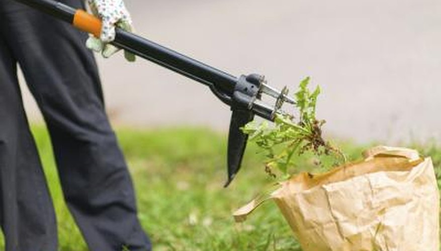 A person uses a yard tool to remove weeds from the lawn.
