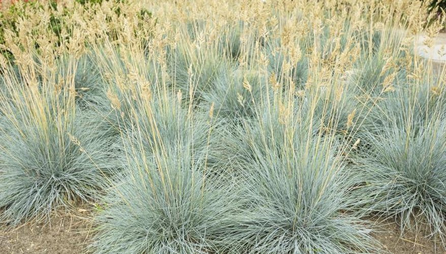 Many gardeners remove blue fescue's tan flowers.