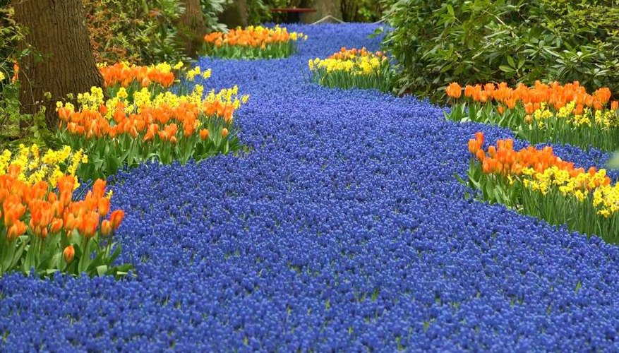 Grape hyacinths create a striking contrast to warmer-colored, spring-flowering bulbs.