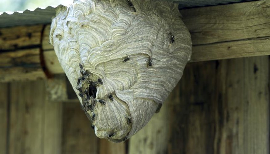 A large hornet nest can contain a horde of stinging insects.