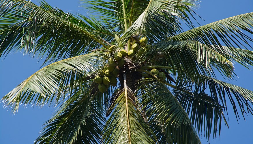 Coconuts grow high above the ground amid the palm's fronds.