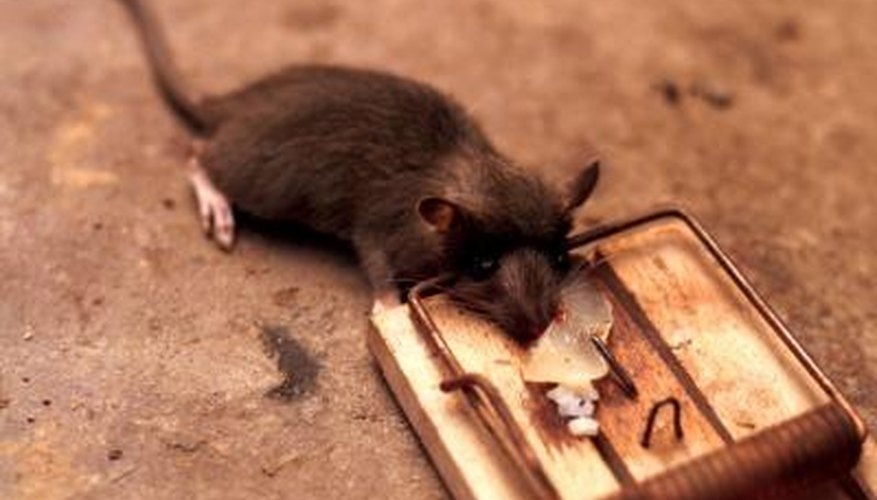 Snap traps are highly effective poison alternatives for killing rats.