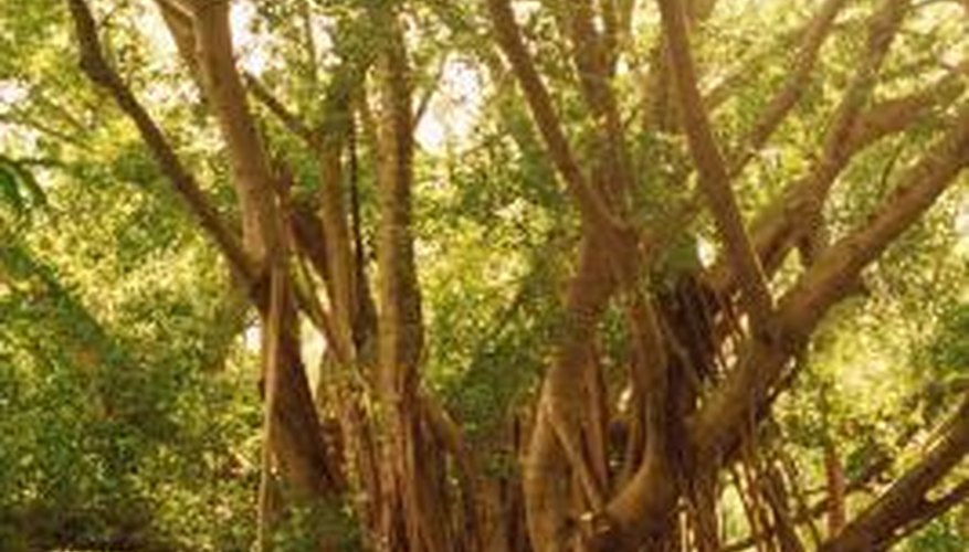 Ficus benghalensis produces aerial roots that help support its enormous canopy.