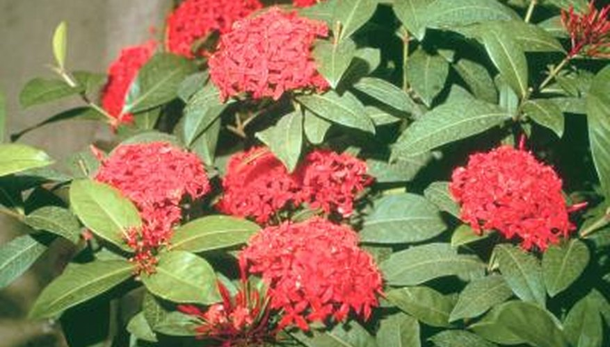 Ixora shrubs are also known as Flame of the Woods.