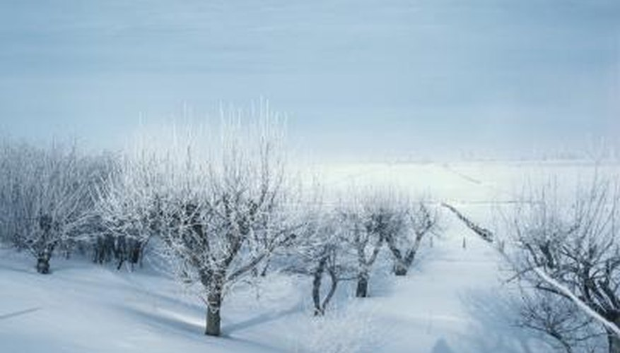 Rabbits target apple trees in the winter when food is harder to find.