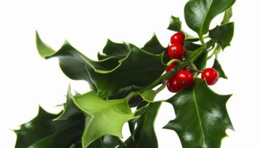 Holly plant.