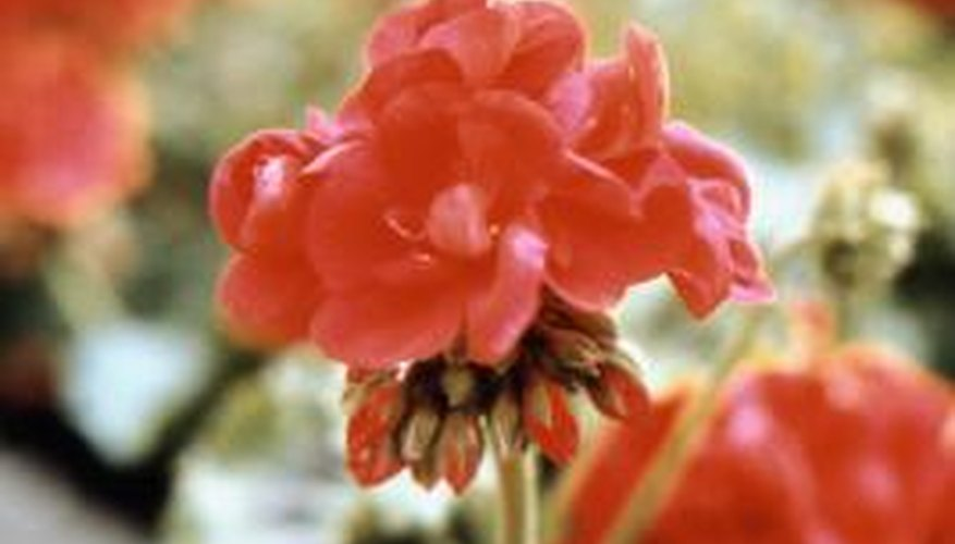 Geraniums are attractive, showy flowers.