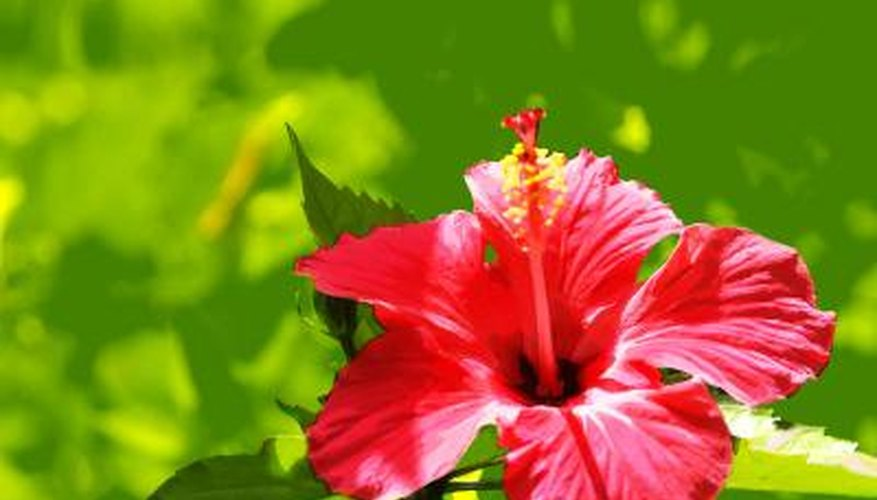 The hibiscus grows wild in Jamaica.