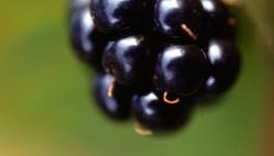 After you pick the last berry of the season, you can prune your bush.