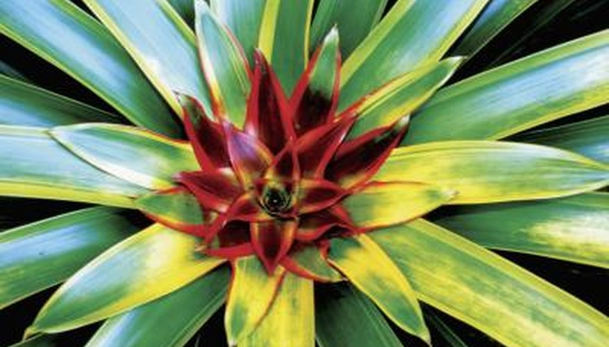 Blushing bromeliads have maroon centers.