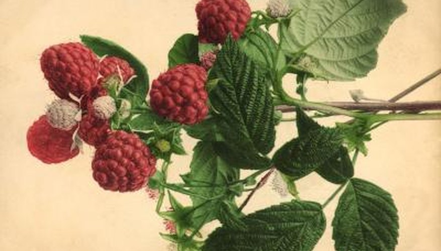 Raspberry plants produce new canes every year.