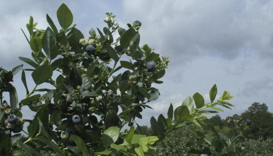 Blueberries flourish in the sandy soils of southwest Michigan.