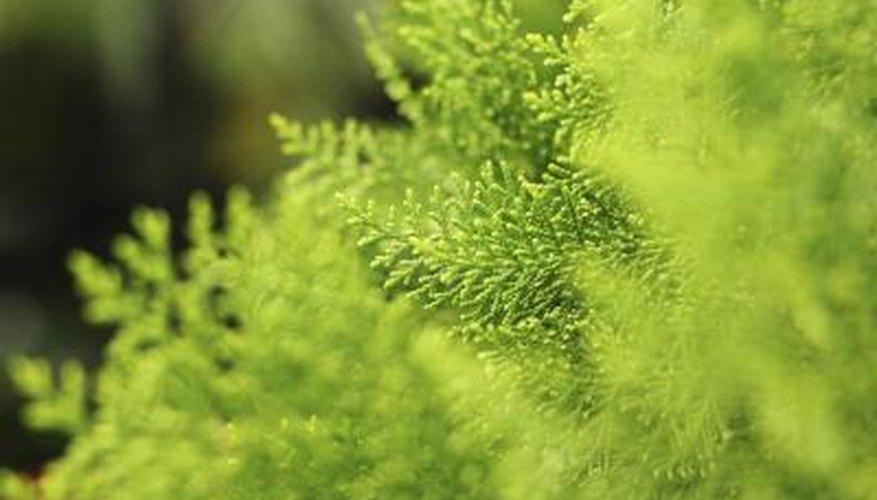 Arbustos de la cuerda floja | El mejor blog de jardinería del mundo