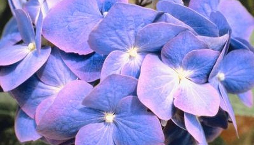 Twist N' Shout hydrangeas change color depending on the pH of the soil.