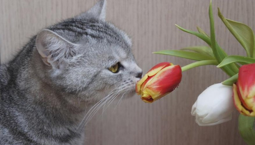 A close-up of a cat smelling a tulip.