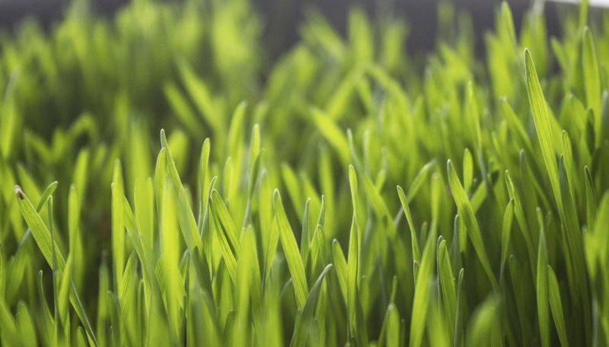 Wheatgrass growing in a planter.