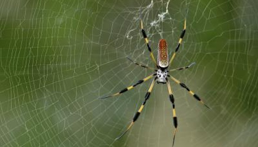 Banana spider in Florida backyard