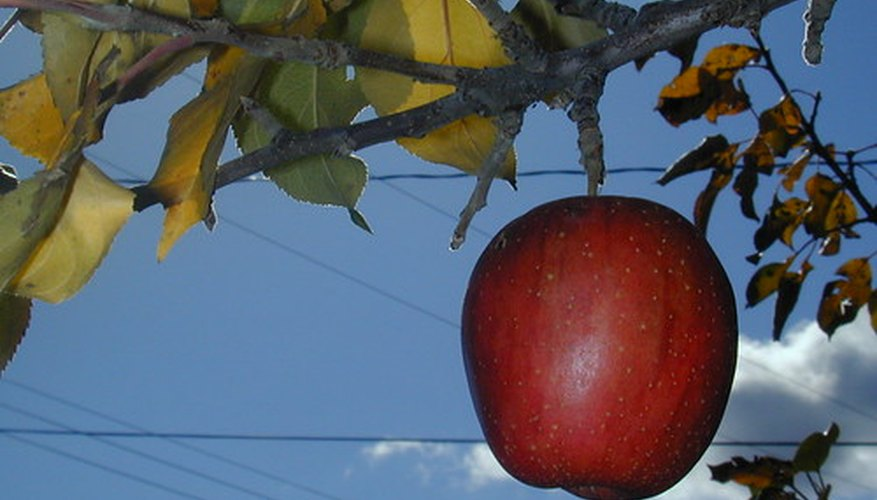 Haralson apple trees produce late-season fruit.