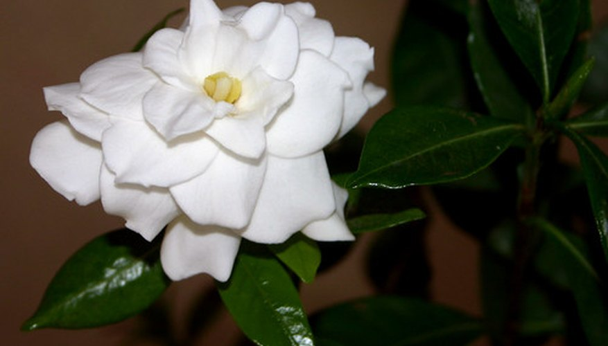 Jasmine's strong fragrance makes it a popular flower.
