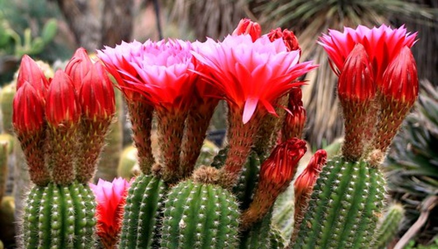Flowers blooming on a cactus