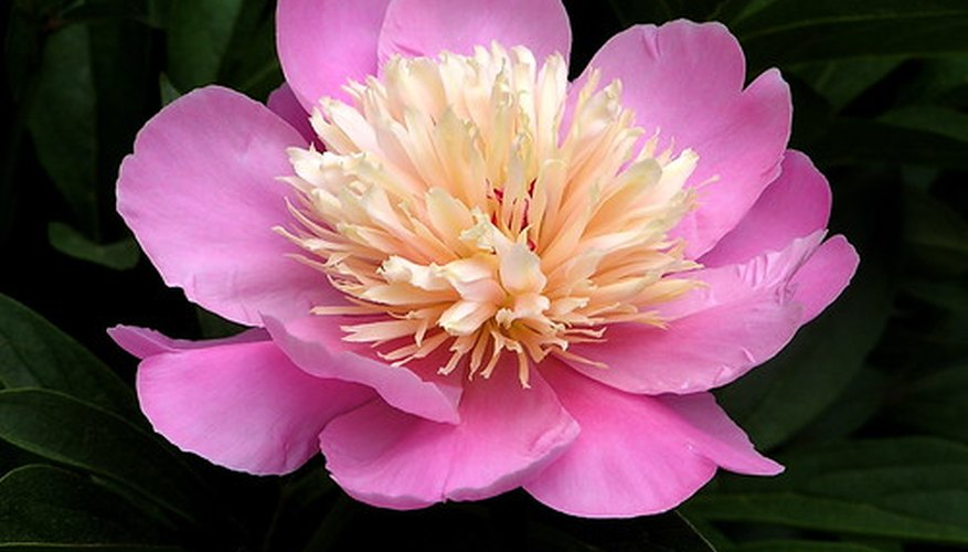 Peonies are valued for their beautiful flowers.