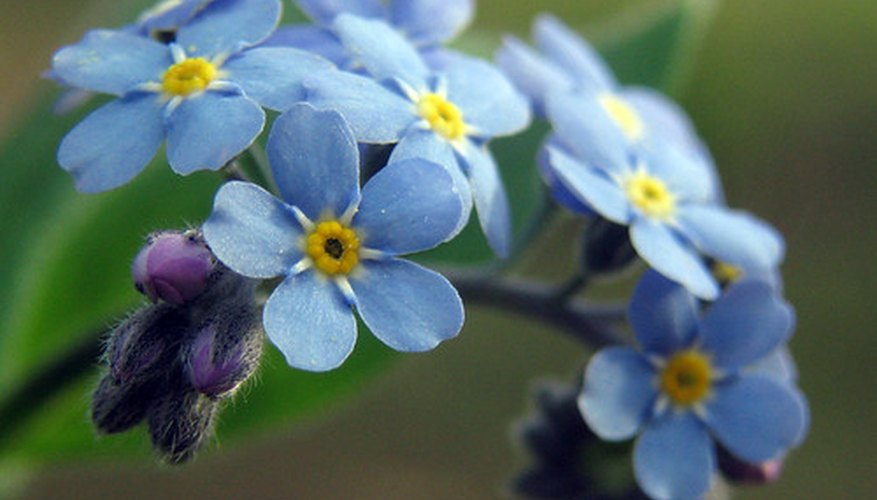 Forget-me-nots are considered perennials, and a favorite flower for the base of trees.