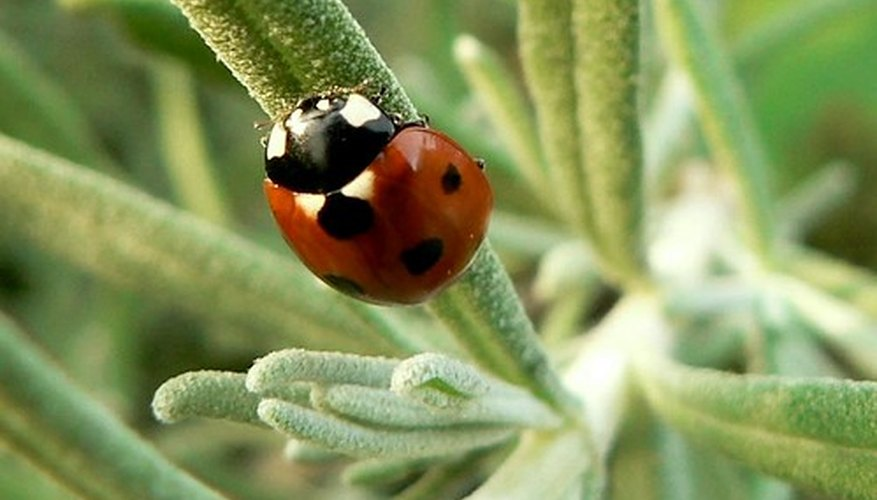 Ladybugs are a natural means of controling aphids.