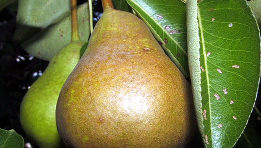 Pears are among the many wild foods that have been domesticated by humans.