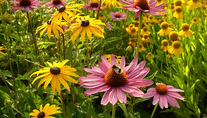 A bee enjoys the pink bloom on a coneflower in a sunny meadow.