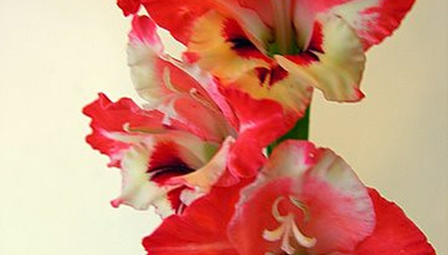 Gladiolus symbolize strength, character and integrity.