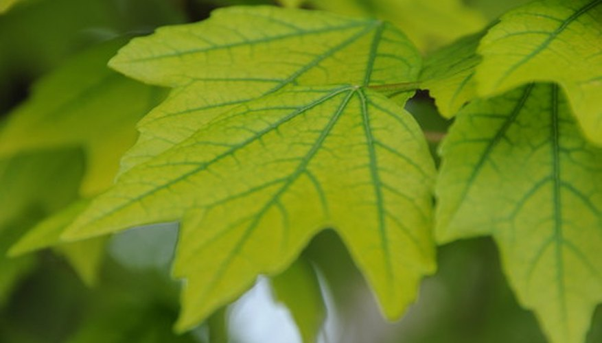 Leaves are organs that collect light for photosynthesis.