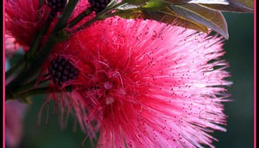 Mimosa trees are beautiful, and can be invasive