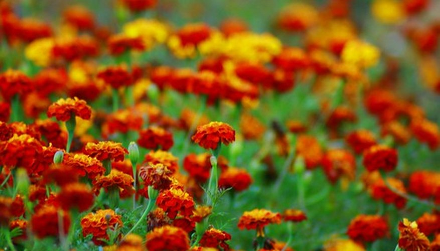 Marigolds are a popular annual flower.