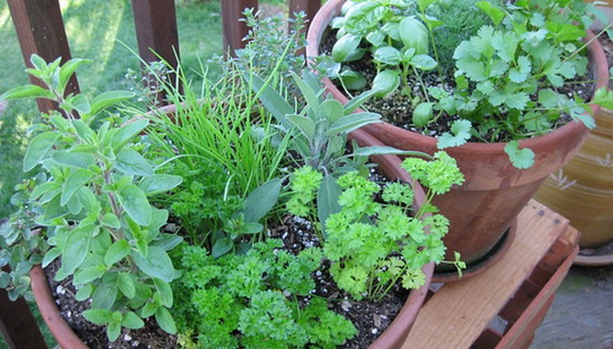 Oregano is a regular feature in kitchen herb gardens across the world, for its ease of growth and flavorful leaves.