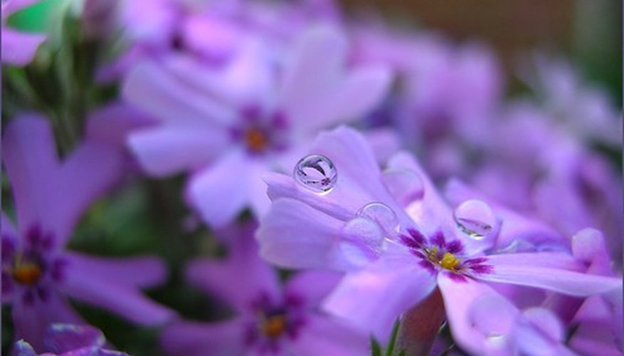 Phlox is a perennial, flowering shrub that can live for years if it avoids infection by disease.