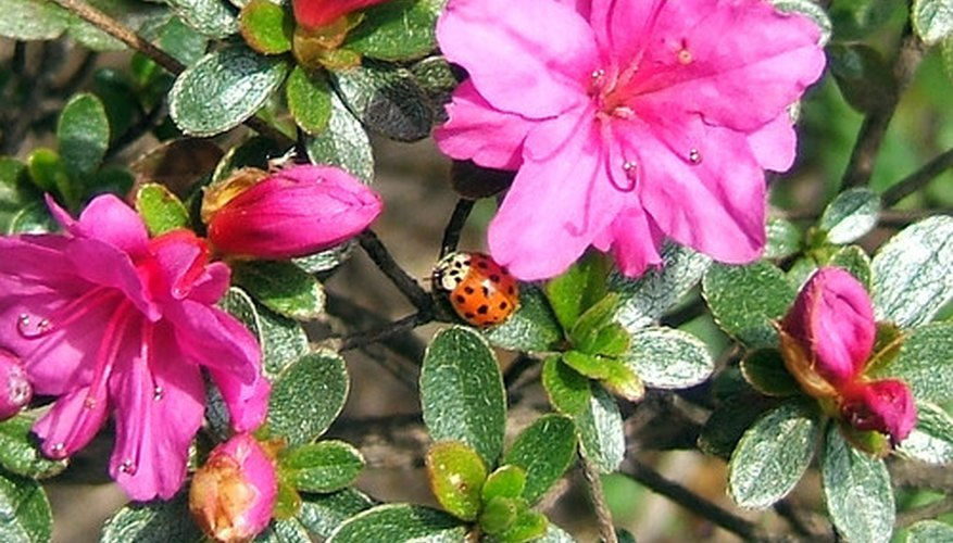 Hose-in-hose-type azalea flower