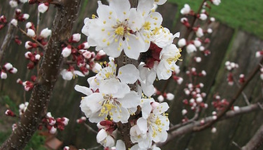 The weeping cherry tree is a favorite among landscapers because of its white blossoms that appear each spring.