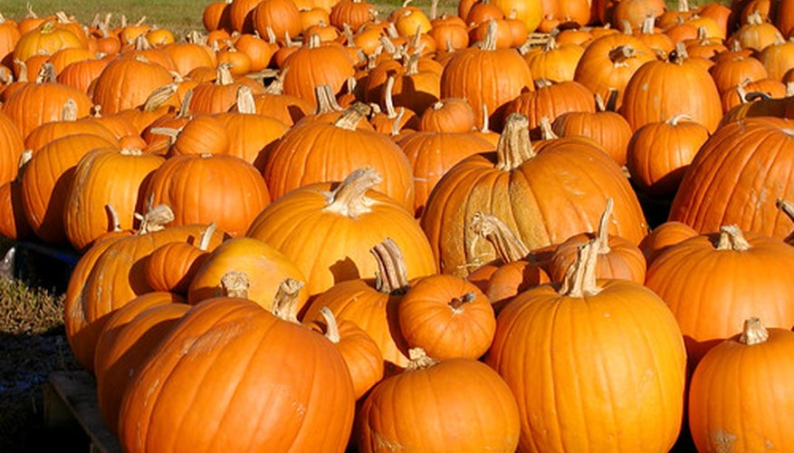 Pumpkins are a rewarding and easy vegetable to grow with the right timing.