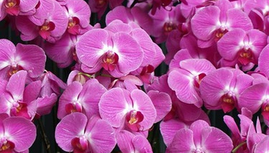 With proper fertilization, orchids can thrive.
