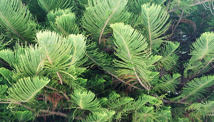 Norfolk Island pine is a foliage plant sold as a houseplant in cold climates.