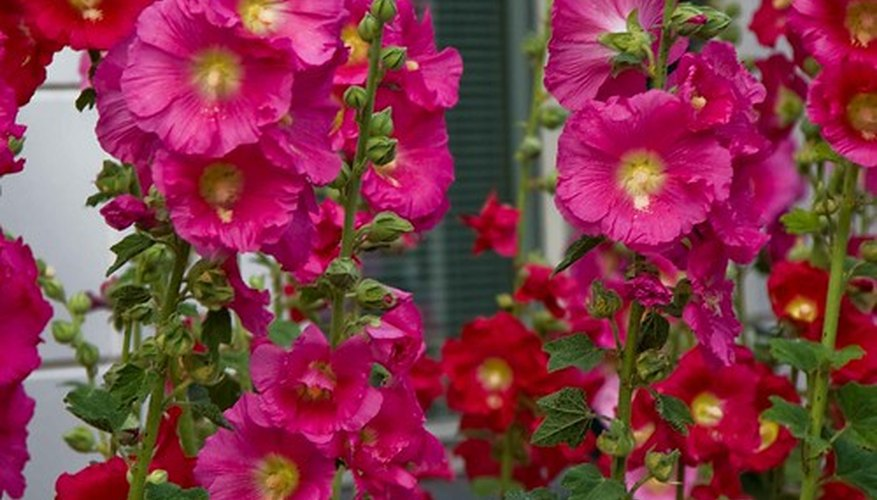 Flowering Hollyhocks