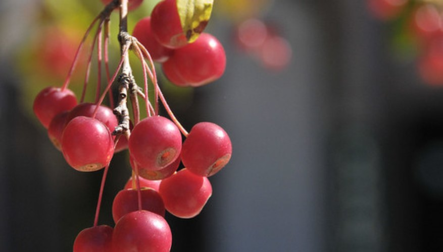Crab apple fruits are less than one-half inch in diameter.