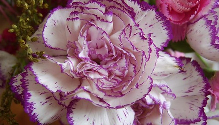 Carnations are a Mother's day favorite.