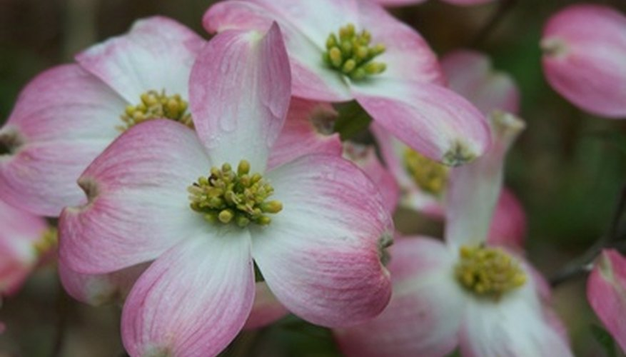 Flowering dogwood trees add stunning colors to any landscape.