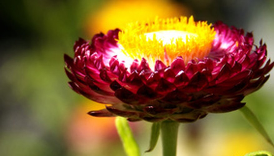 The strawflower blooms continuously through the Arizona summer.