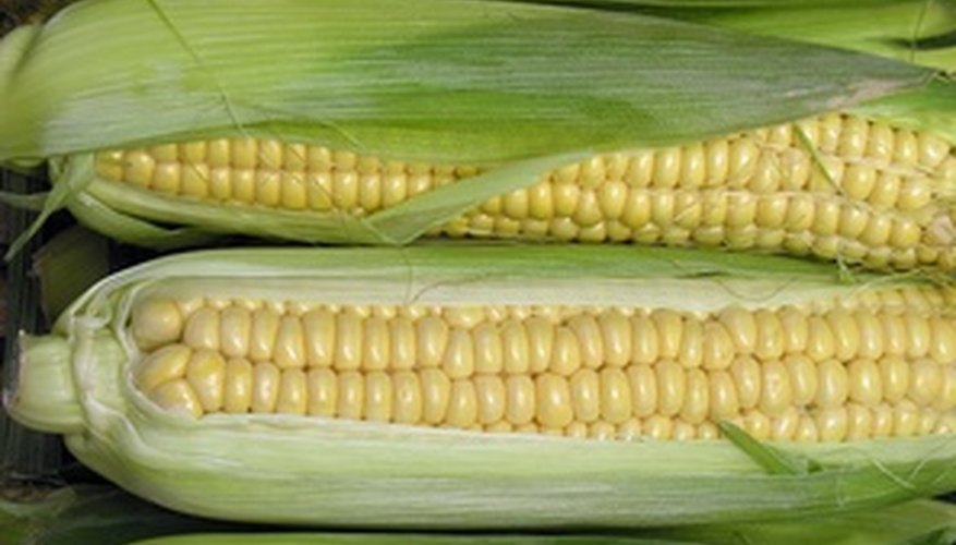 GMOs are common in agriculture with crops such as corn.