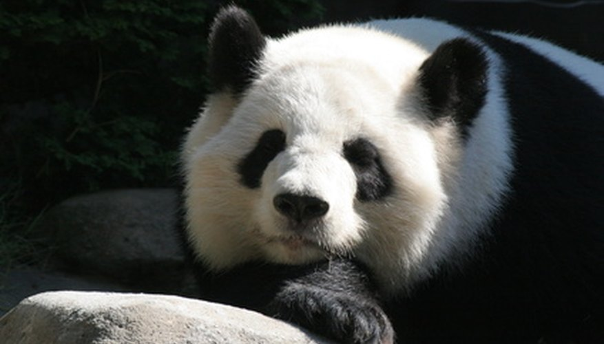 The panda is among the most recogniable endangered animals.