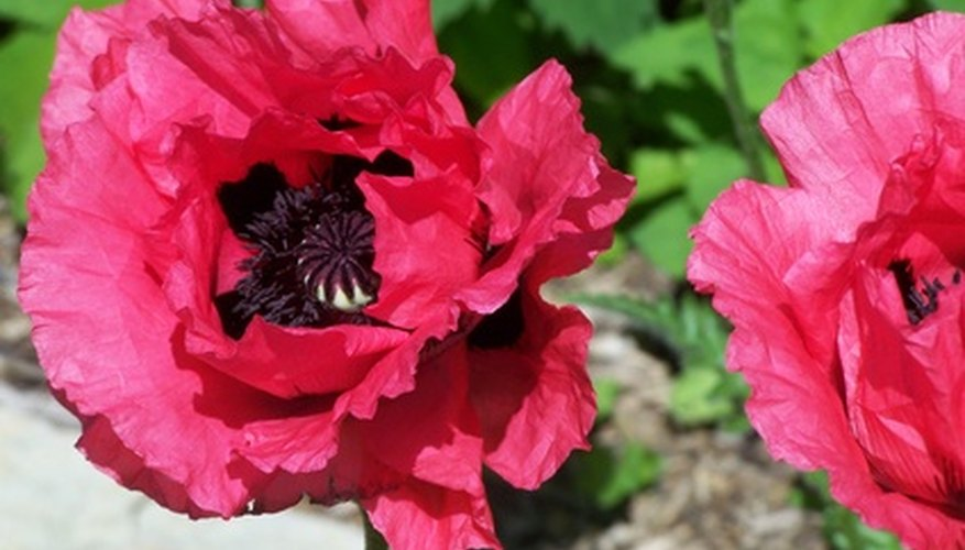 Oriental poppies have large blue-black or white spots in the flower bases.